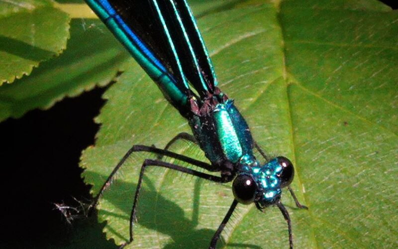 + the iridescent drangonfly
