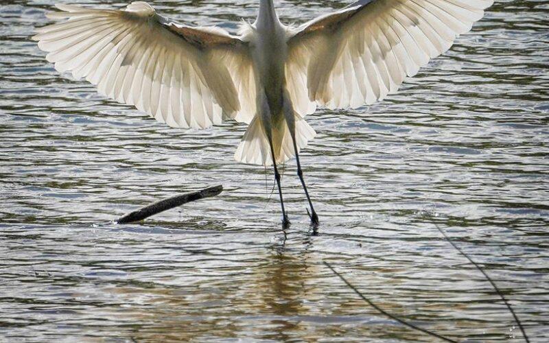 + the translucent egret